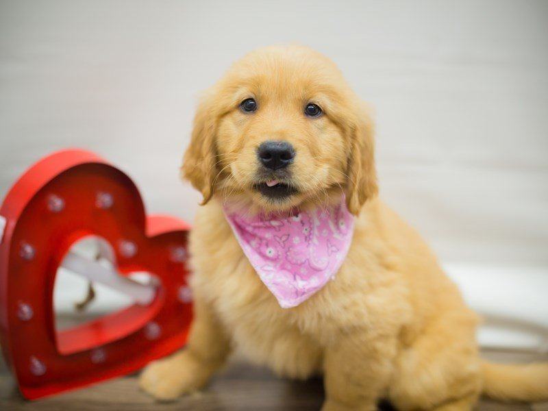 Golden Retriever-DOG-Female-Golden-2261056-Petland Wichita, KS