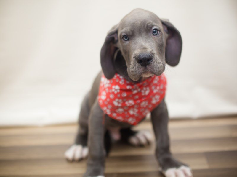 Great Dane-Male-BLUE W/ WHITE-2266360-Petland Wichita, KS