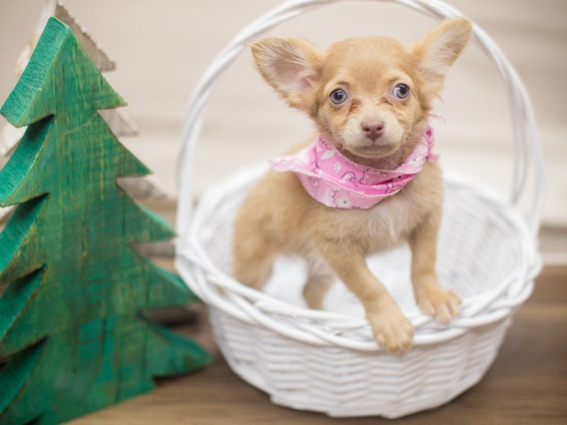 Chihuahua-Female-Fawn-2229252-Petland Wichita, KS