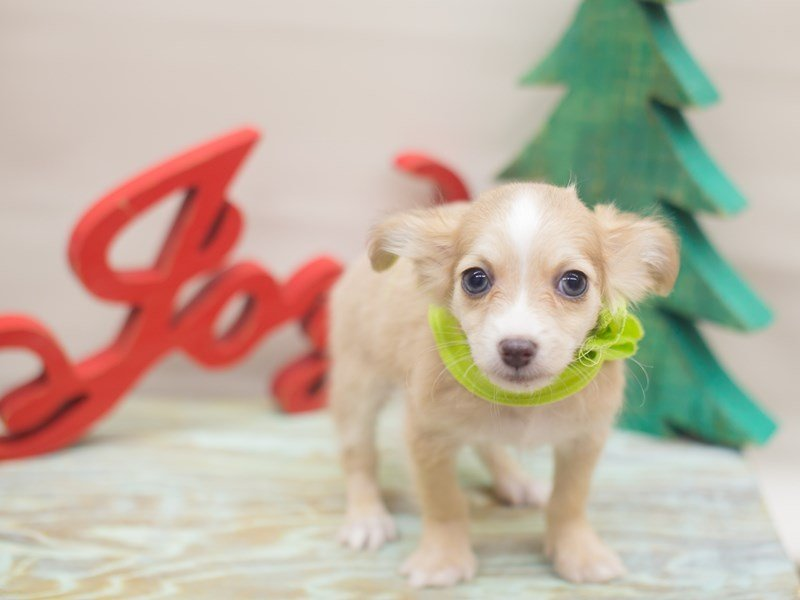 Chihuahua-Male-Fawn-2229247-Petland Wichita, KS