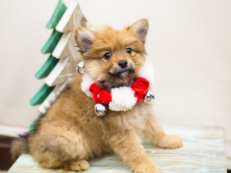 Pomeranian-DOG-Male-Red Sable-2234041-Petland Wichita, KS