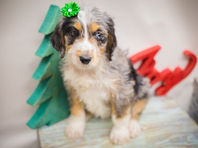 Aussiedoodle-DOG-Female-Blue Merle-2241302-Petland Wichita, KS