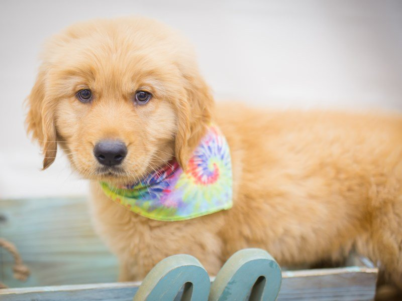 Golden Retriever-DOG-Male-Golden-2243171-Petland Wichita, KS
