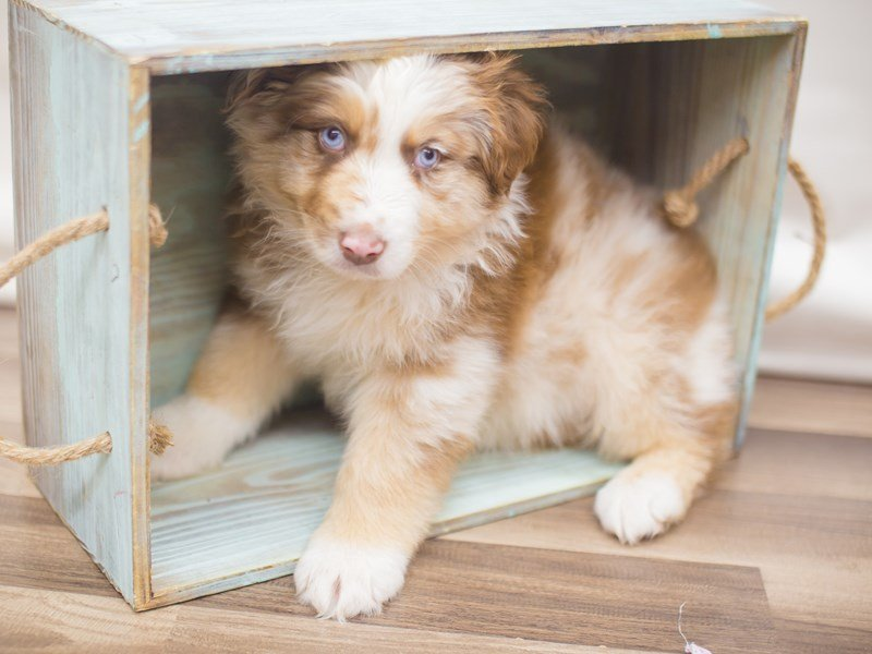 Australian Shepherd-Male-Red Merle-2249682-Petland Wichita, KS