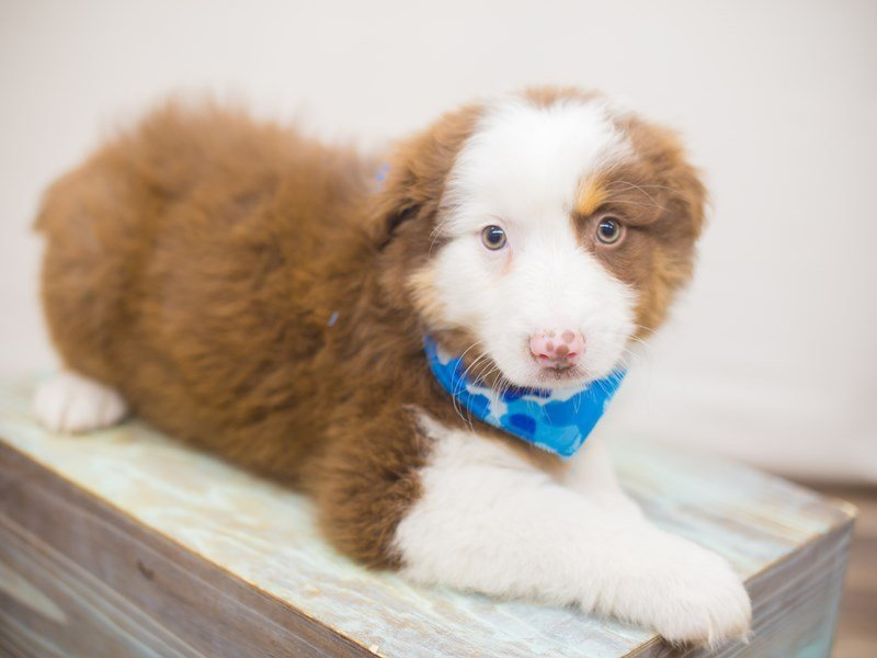 Australian Shepherd-Male-Red Tri-2249675-Petland Wichita, KS