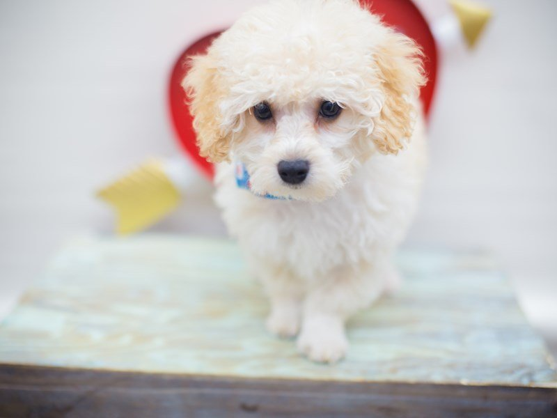 Miniature Poodle-DOG-Male-CREAM-2255514-Petland Wichita, KS