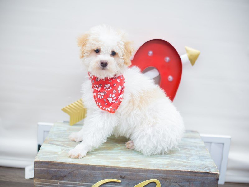 Miniature Poodle-Male-WHITE & CREAM-2255506-Petland Wichita, KS