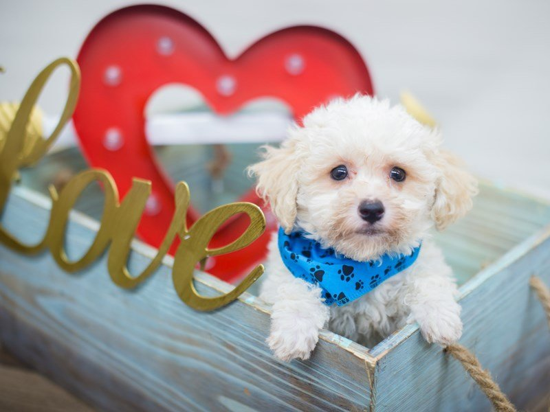 Bichon Poo-Male-White-2261284-Petland Wichita, KS