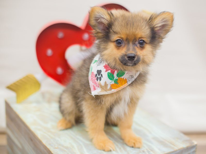 Pomeranian-DOG-Male-SABLE-2266265-Petland Wichita, KS