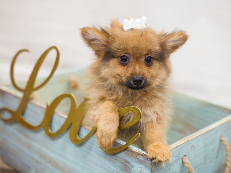 Pomeranian-DOG-Female-SABLE-2266276-Petland Wichita, KS