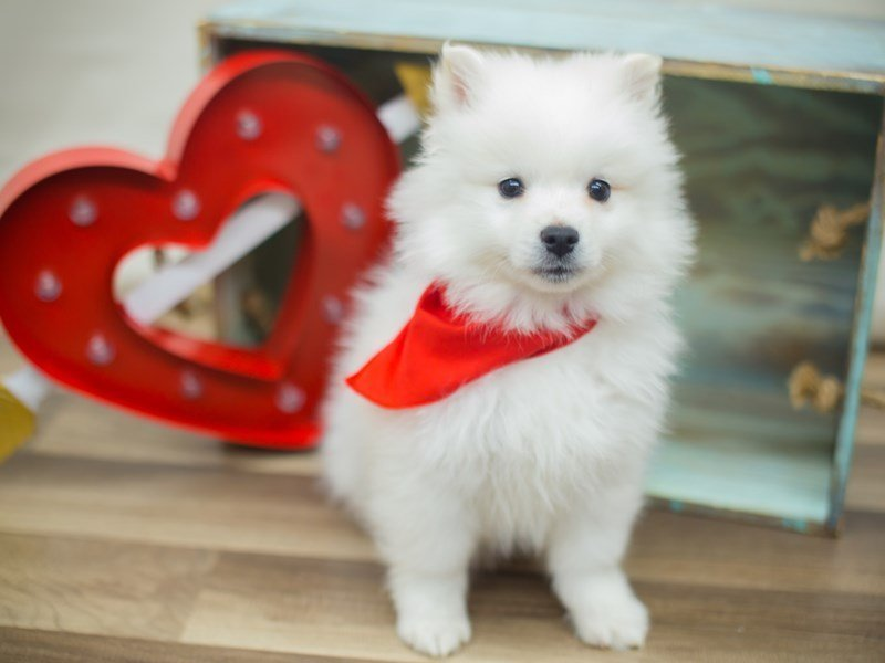 American Eskimo-DOG-Male-WHITE-2266377-Petland Wichita, KS