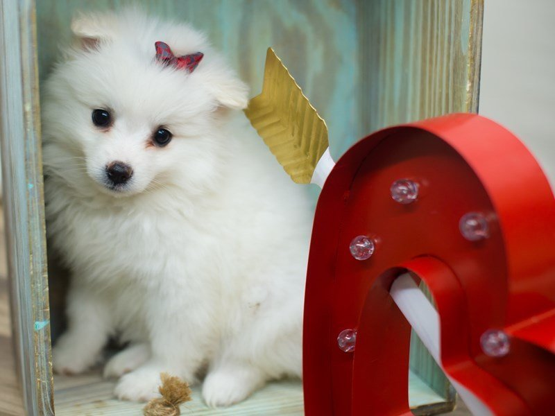 American Eskimo-Female-WHITE-2266437-Petland Wichita, KS