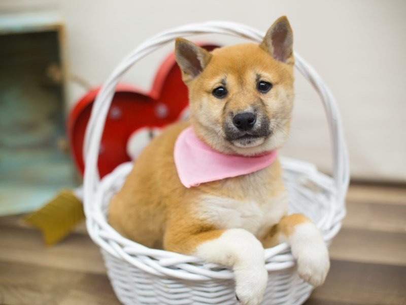 Shiba Inu-DOG-Female-RED-2266518-Petland Wichita, KS