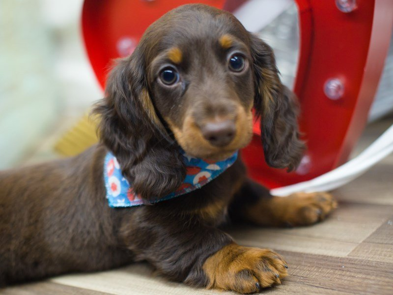 Miniature Dachshund-DOG-Male-Chocolate-2263070-Petland Wichita, KS