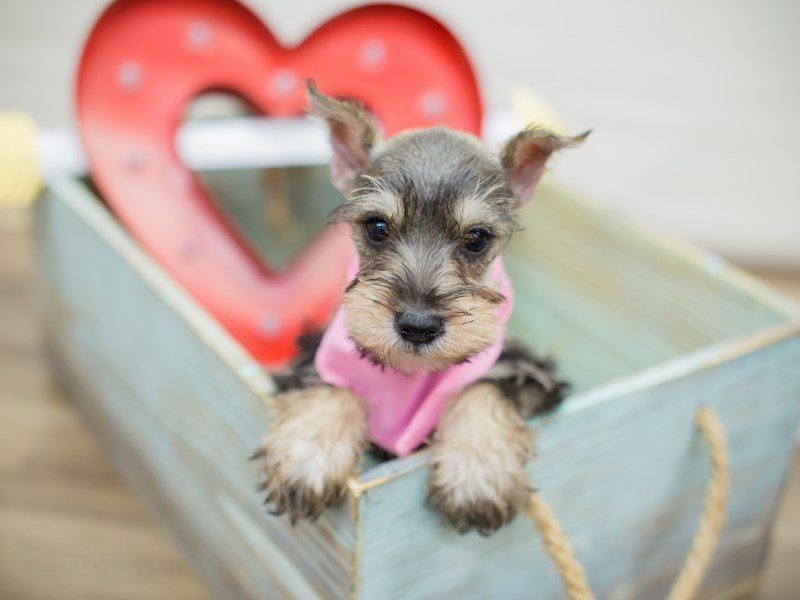 Miniature Schnauzer-DOG-Female-Salt and Pepper-2269495-Petland Wichita, KS