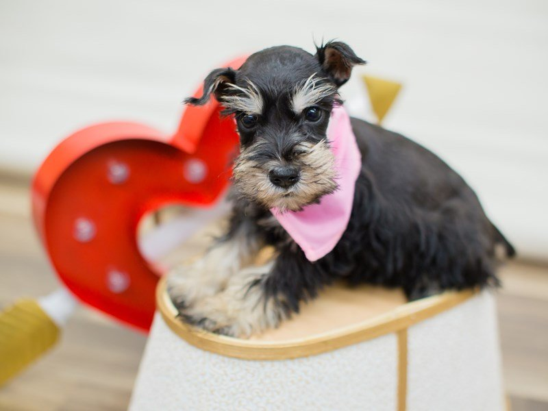 Miniature Schnauzer-Female-Silver and Black-2269496-Petland Wichita, KS