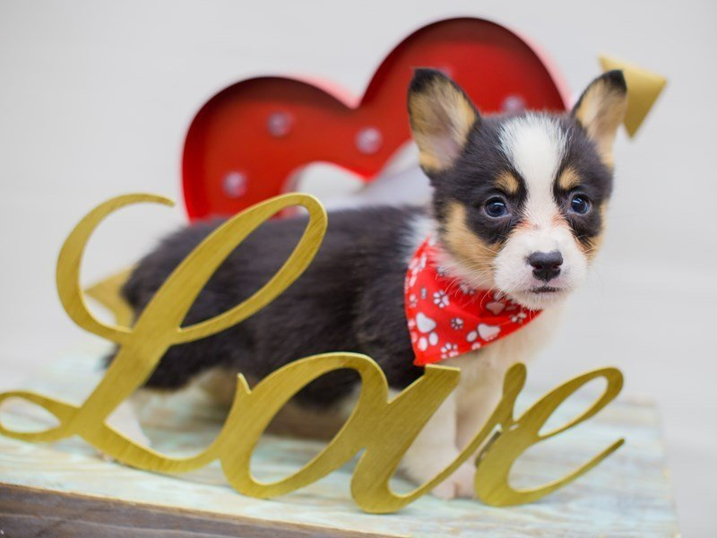 Pembroke Welsh Corgi-DOG-Male-TRI COLOR-2271949-Petland Wichita, KS