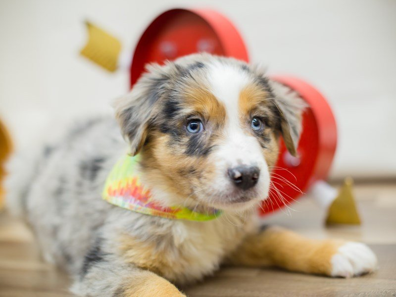 Australian Shepherd-Male-Blue Merle-2269501-Petland Wichita, KS