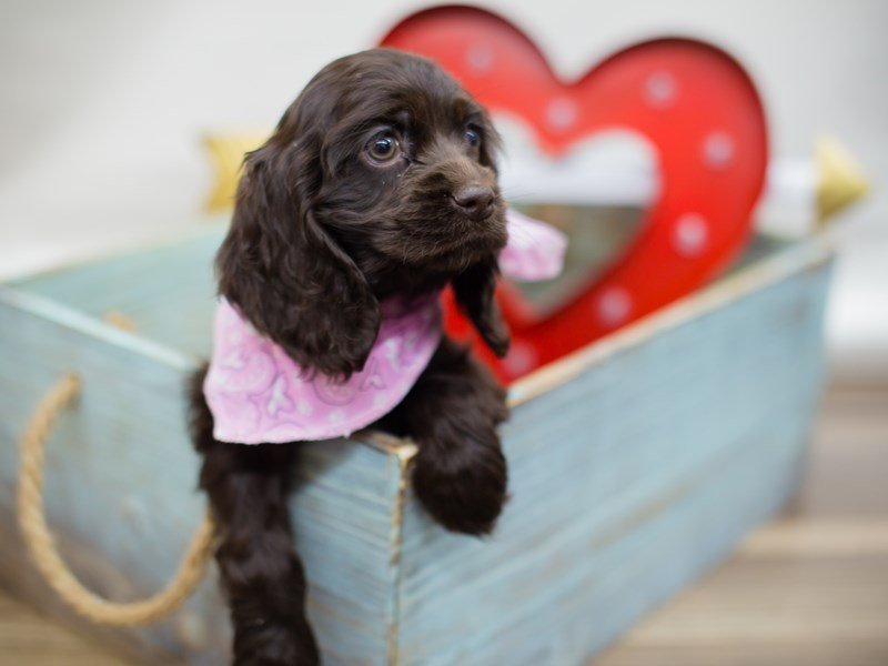 Cocker Spaniel-DOG-Female-CHOCOLATE-2276899-Petland Wichita, KS