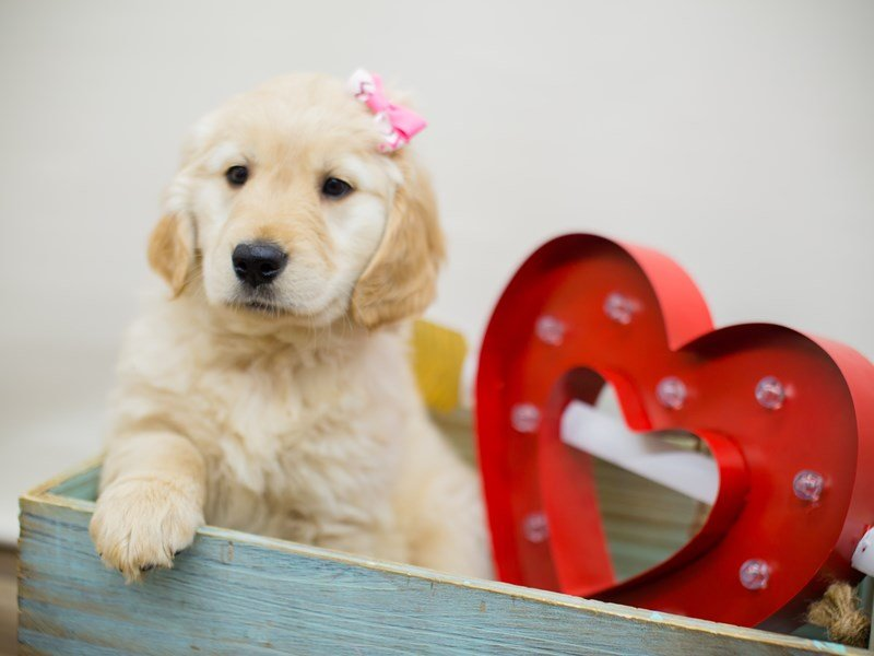 Golden Retriever-DOG-Female-GOLDEN-2276861-Petland Wichita, KS