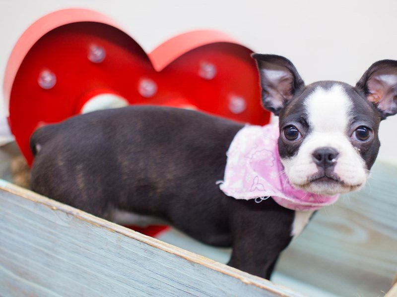 Boston Terrier-DOG-Female-Black-2260919-Petland Wichita, KS