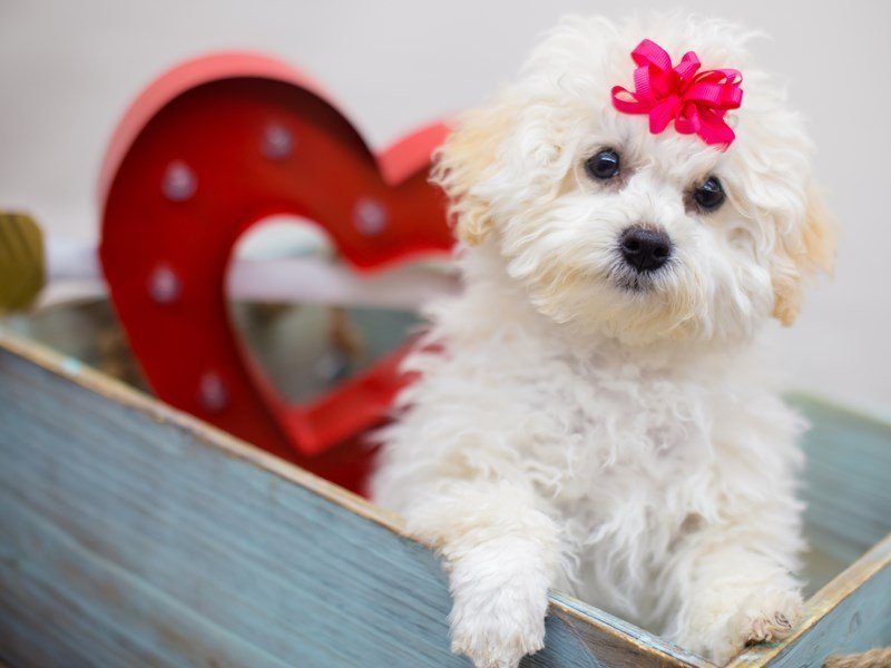 Miniature Poodle-DOG-Female-CREAM-2282020-Petland Wichita, KS