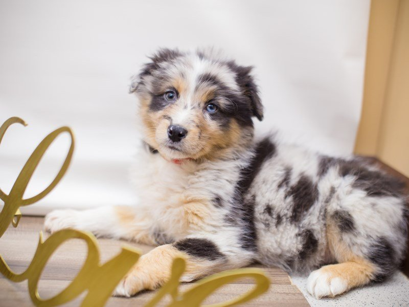 Australian Shepherd (Standard)-DOG-Female-BLUE MERLE-2281916-Petland Wichita, KS