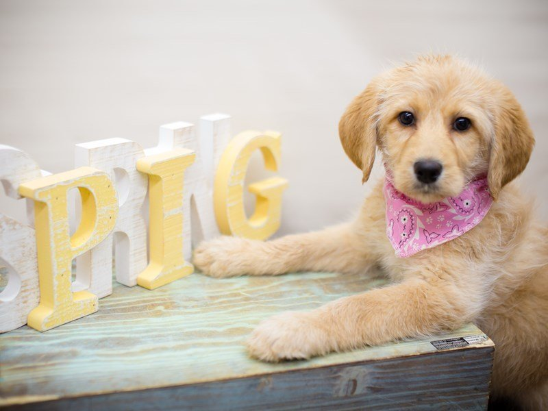 Labradoodle-Female-Yellow-2287726-Petland Wichita, KS