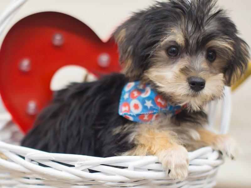 Morkie-DOG-Male-BLACK AND TAN-2266283-Petland Wichita, KS