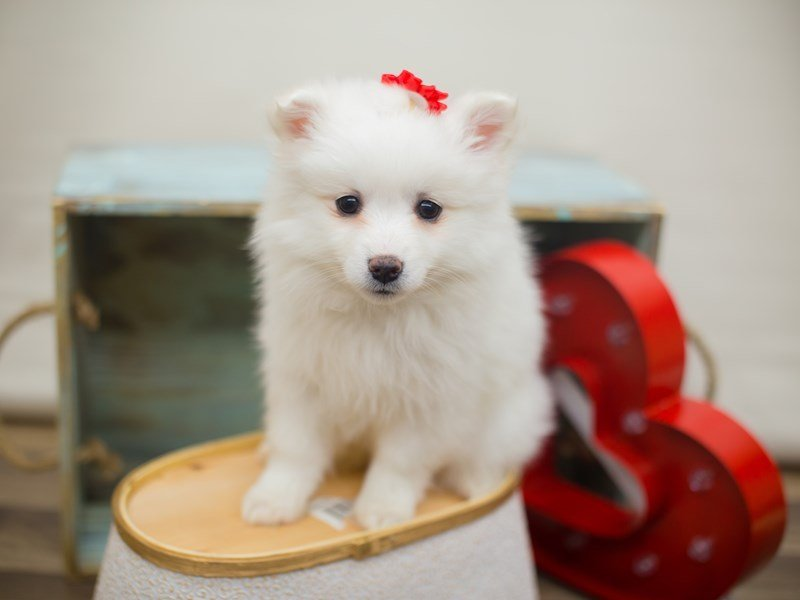 American Eskimo-DOG-Female-WHITE-2266436-Petland Wichita, KS