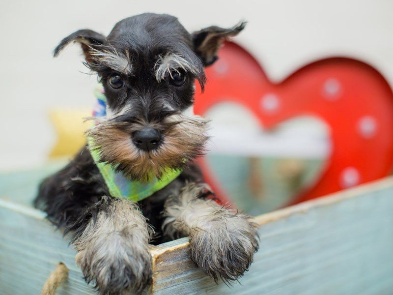 Miniature Schnauzer-Male-Silver and Black-2269492-Petland Wichita, KS