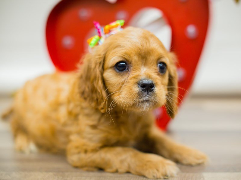 Cavalier King Charles Spaniel-Female-RUBY-2271840-Petland Wichita, KS