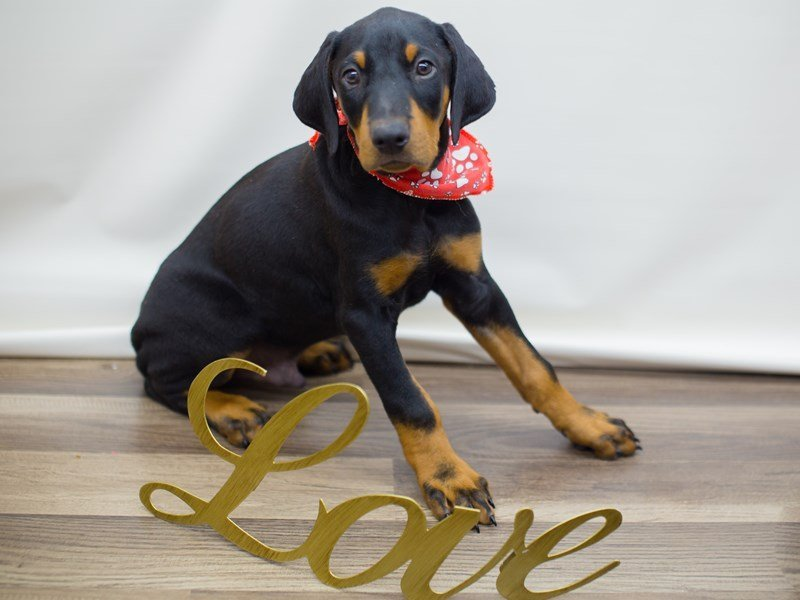 Doberman Pinscher-Male-BLACK & RUST-2276800-Petland Wichita, KS