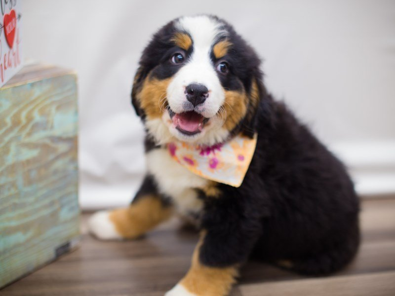 Bernese Mountain Dog-Female-Black White and Tan-2281972-Petland Wichita, KS