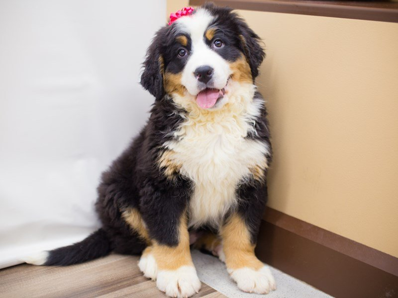 Bernese Mountain Dog-Female-Black White and Tan-2281970-Petland Wichita, KS