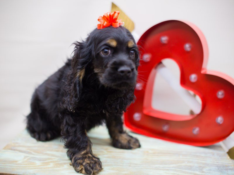 Cocker Spaniel-Female-BLACK AND TAN-2281945-Petland Wichita, KS