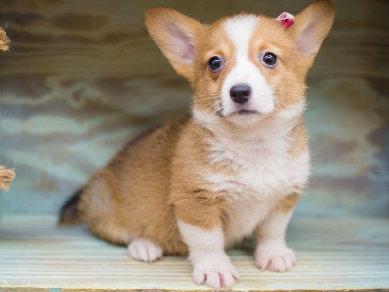 Pembroke Welsh Corgi-DOG-Female-Sable and White-2282079-Petland Wichita, KS