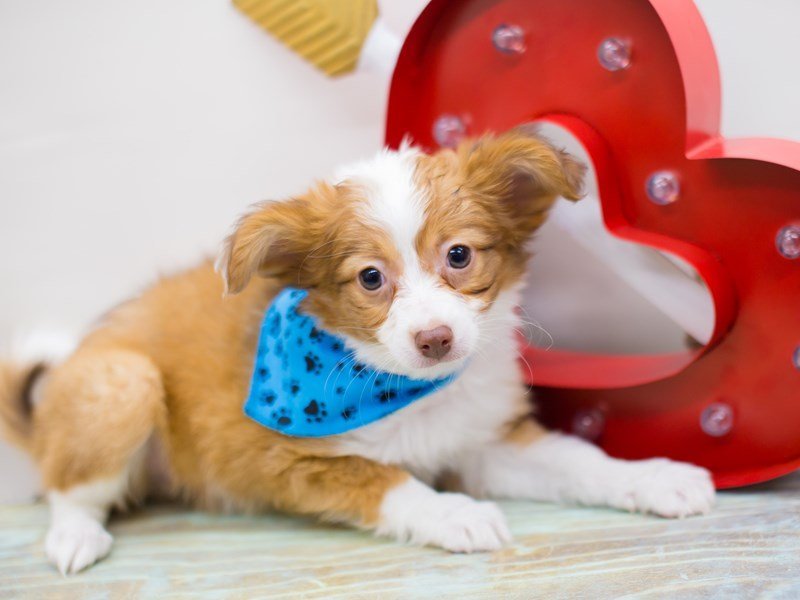 Chipom-DOG-Male-RED & WHITE PARTI-2282029-Petland Wichita, KS