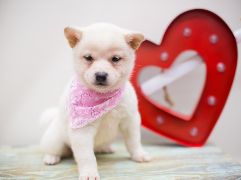 Shiba Inu-DOG-Female-Cream-2282104-Petland Wichita, KS