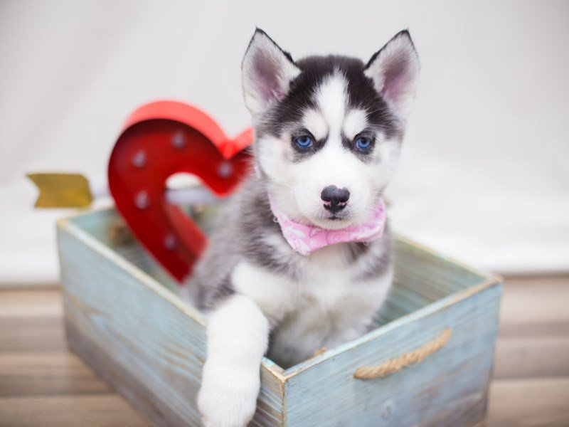 Siberian Husky-DOG-Female-BLACK AND WHITE-2281902-Petland Wichita, KS