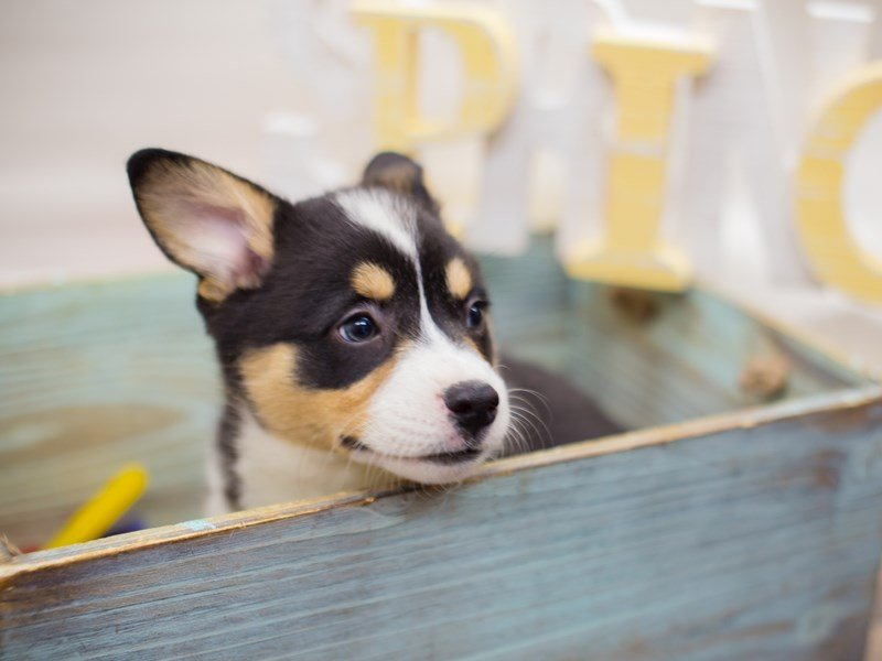 Pembroke Welsh Corgi-DOG-Male--2287758-Petland Wichita, KS