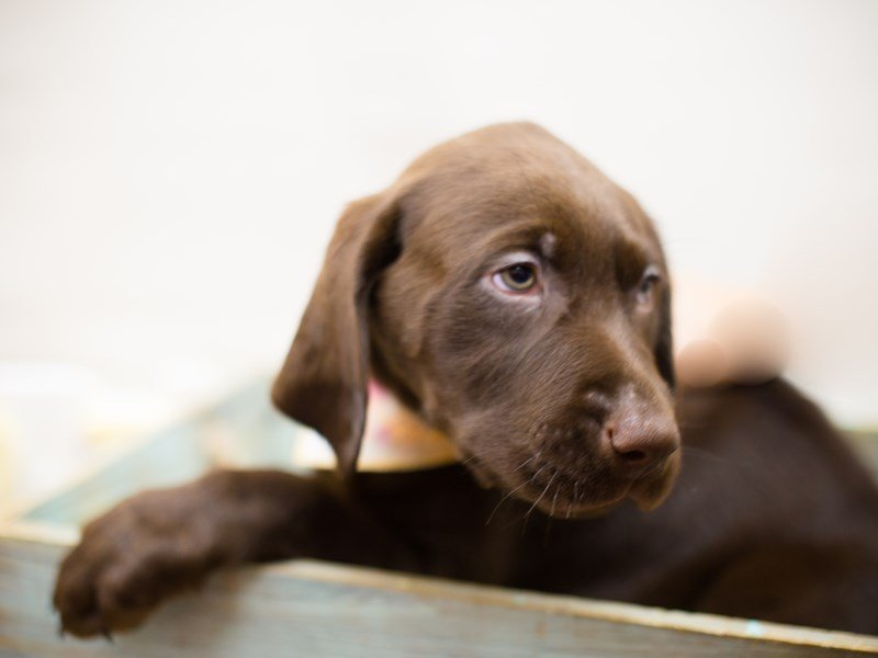 English Labrador Retriever-Female-Chocolate-2287339-Petland Wichita, KS