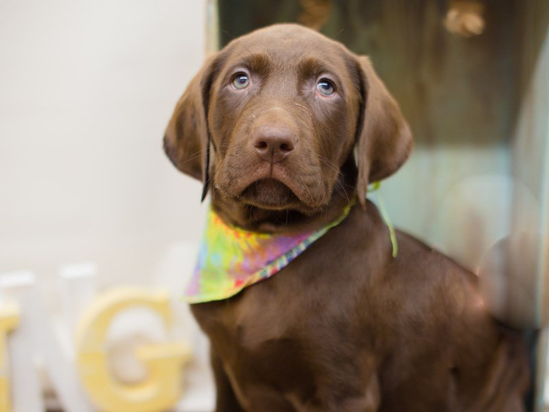 English Labrador Retriever-Male-Chocolate-2287331-Petland Wichita, KS