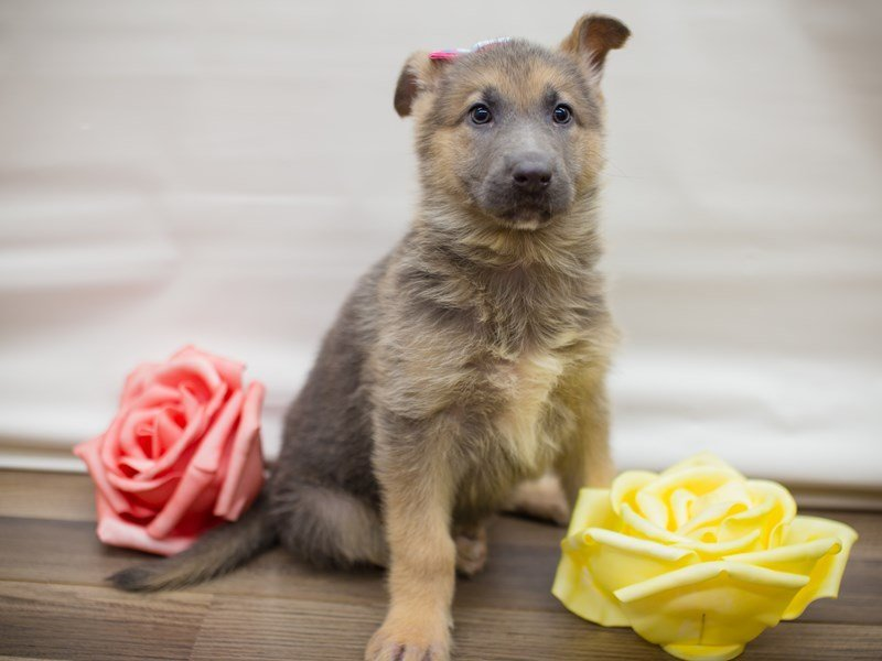German Shepherd Dog-DOG-Female-Blue and cream-2286356-Petland Wichita, KS