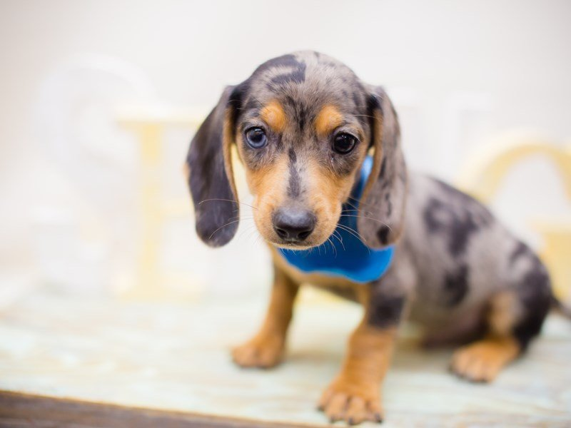 Miniature Dachshund-DOG-Male-Dapple-2293469-Petland Wichita, KS
