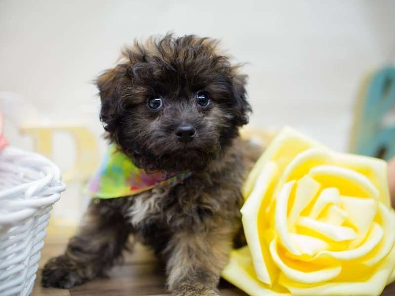 Teddy Bear (Shihchon)-DOG-Male-BRINDLE-2293075-Petland Wichita, KS
