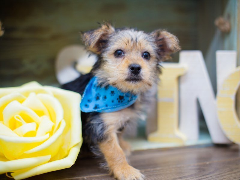 Morkie-DOG-Male-BLACK AND TAN-2293050-Petland Wichita, KS