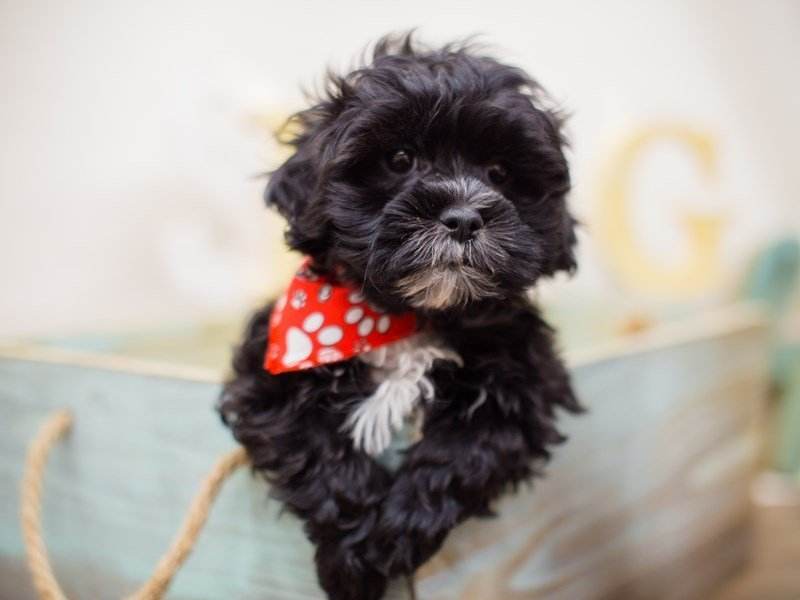 Toy ShihPoo-Male-BLACK-2293025-Petland Wichita, KS