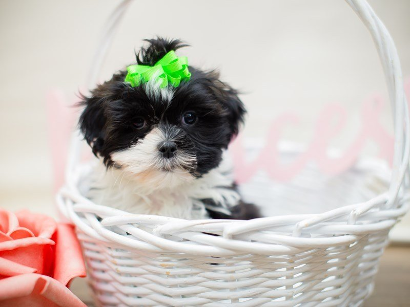 Toy ShihPoo-Female-BLACK & WHITE-2293020-Petland Wichita, KS