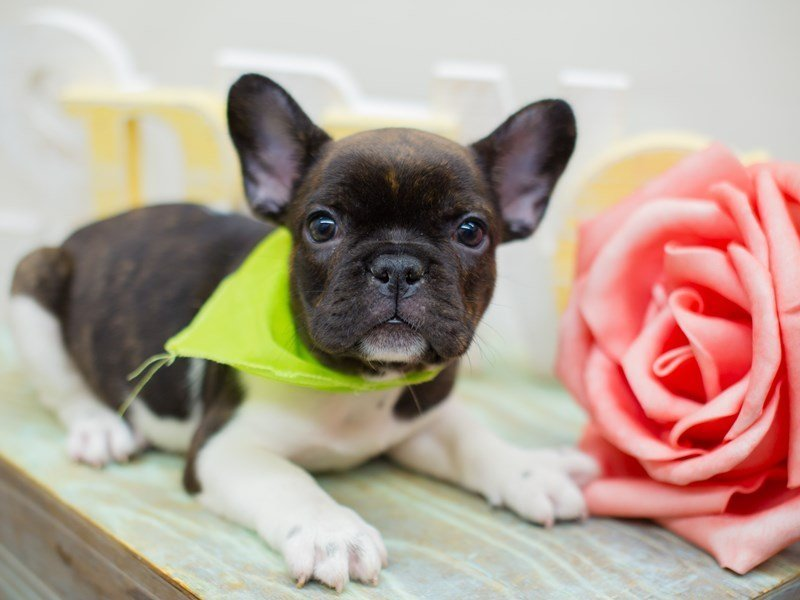 French Bulldog-DOG-Male-BRINDLE & WHITE PIEBALD-2298971-Petland Wichita, KS